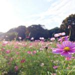 小金井公園のコスモス