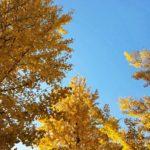 八王子の銀杏並木